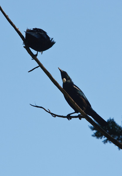 Nz Native Tui's in a tree