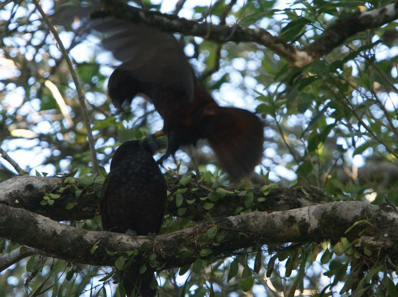 Kaka's shagging in a tree