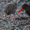 Black Oyster Catcher mother and chick. She drops it and the chick picks it up.