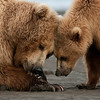 Coastal Brown Bears claming,