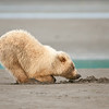 Coastal Brown Bear cub claming, mother digs the hole