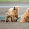 Coastal Brown Bear cubs claming, mother digs the hole