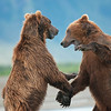 Coastal Brown Bears, play fighting