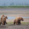 Coastal Brown Bears, mother with cubs