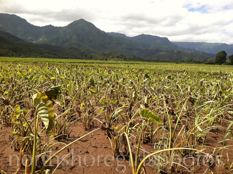 March 14, 2012<br /> Hanalei Taro recovers from the big flood