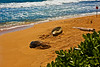 Kauai2009#18   These are Monk Seals.....they are very endangered.....theres only about 1200 left in the Hawaiian Islands.  These 2 would sleep during the day about 50 feet from our door.