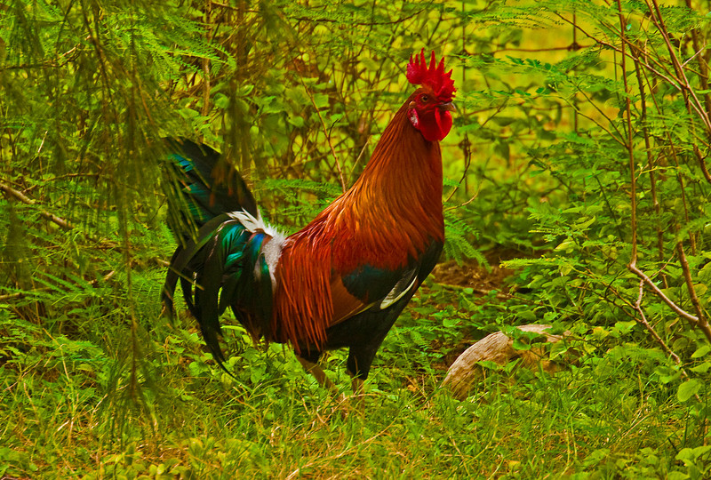 Kauai2009#42    There are wild chickens all over Kauai