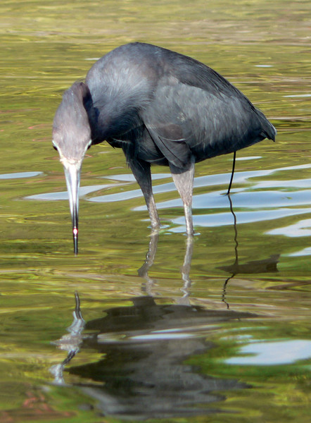 The little blue heron followed me around for a little while.  He was eating the little fish that I was scaring out of the seagrass.