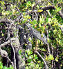 I followed this yellow-crowned night-heron around for awhile.  Unfortunately, it decided to fly up into the mangrove and hide.  This was as close as I could get.