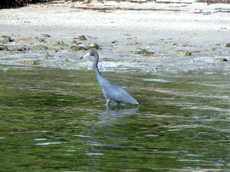 Some one must feed this little blue heron, because he was not scared of me at all.