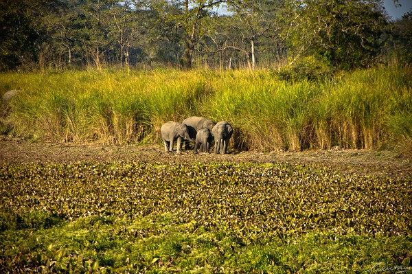 02: Kaziranga, Assam Elephant family 22 December 2011