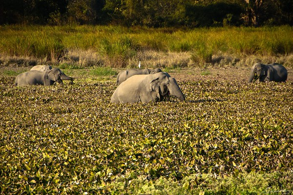 04: Kaziranga, Assam Wallowing 22 December 2011