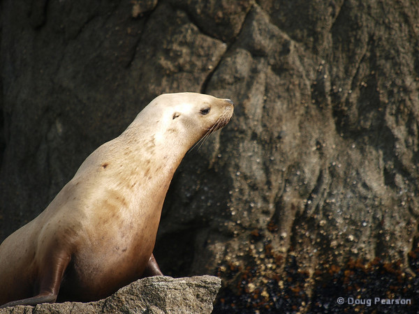 A Sea Lion in the sun, Kenai Fjords near Seward Alaska