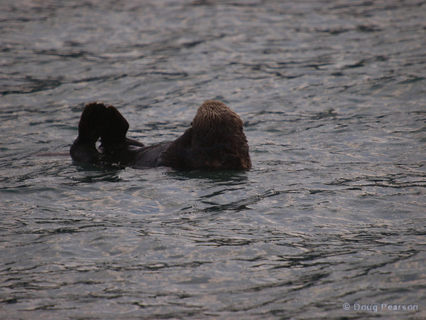 Sea Otter eating, Kenai Fjords near Seward Alaska