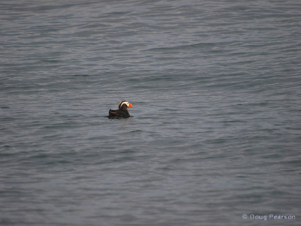 A puffin in Kenai Fjords near Seward Alaska