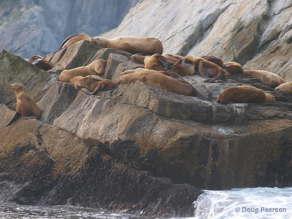 Sea Lions rest in the sun, Kenai Fjords near Seward Alaska