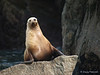 A Sea Lion poses for pictures, Kenai Fjords near Seward Alaska