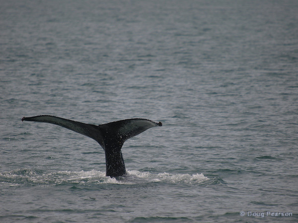 A whale dives in Kenai Fjords near Seward Alaska
