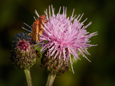 Common red soldier beetle on thistle
