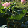 Yes lotuses are tall.