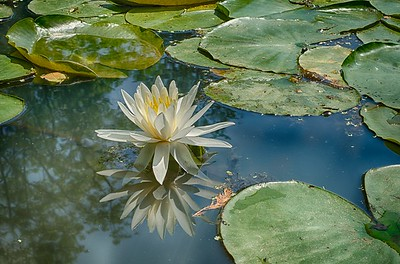 Lily reflected in water with detail in HDR
