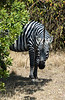 012 Zebra KenyaTrip2013-02461