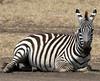 001 Zebra KenyaTrip2013-00373