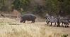 008 Zebras & Hippo KenyaTrip2013-01082