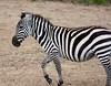 006 Zebra KenyaTrip2013-00943