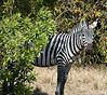 011 Zebra KenyaTrip2013-02459