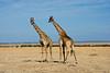 018 Giraffes KenyaTrip2013-01518