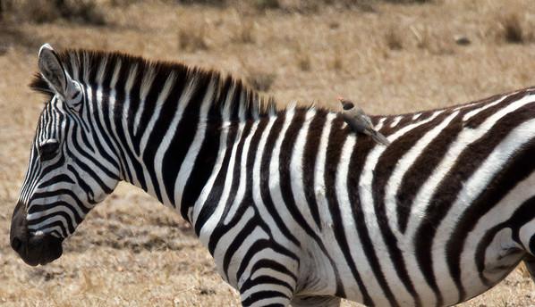 Kenya 2 2013 Giraffes Hippos Zebras Crocs Leopards Cheetahs Baboons Hyenas