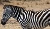 002 Zebra KenyaTrip2013-00365