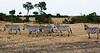 004 Zebras KenyaTrip2013-00942