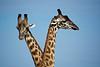 019 Giraffes KenyaTrip2013-01499