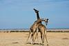 017 Giraffes KenyaTrip2013-01515