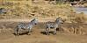 010 Zebras KenyaTrip2013-01205