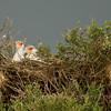 Secretary birds on their nest before storm