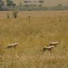 Cheetah cubs following Mom