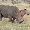 black rhinos with youngster 6044