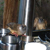 Breakfast mousebirds- Lewa