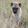 spotted hyena pup 6020