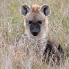 spotted hyena pup 6022