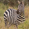 common zebra 5832