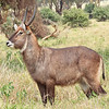 common waterbuck 5854