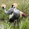 grey crowned crane 5915