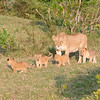 Lioness supervising the cubs