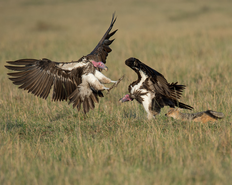 Lappet-faced Vultures and Silver-backed Jackal disputing over remains of a lion kill
