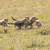 Cheeta cubs learning the chase