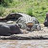 One big crocodile